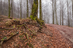 Serie nieblas: El camino (atvjavi) Tags: bosque niebla navarre hayas navarra nafarroa raices hayedo nieblas urkiaga quintoreal atvjavi