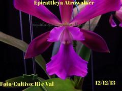 Epicattleya Atrowalker (rinaldoignacio) Tags: epicattleya atrowalker
