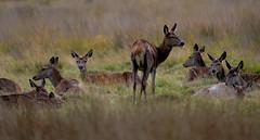 DSC_4367_ (jhellender) Tags: reddeer richmondpark rutt reddeerrutt deerrutt jhellender