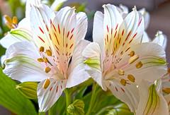 4239 (fpizarro) Tags: white flower minasgerais branco flor mg belohorizonte bh astromelia astromlia fpizarro alstromlia