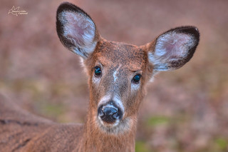 White-tail Deer Head Shot