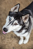 This. (Gertrude139) Tags: blackandwhite dog love smile happy husky pretty siberianhusky headtilt sibe bieyed