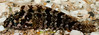 Sonoran Belnny (Malacoctenus gigas) (NatureStills) Tags: ocean sea wild fish black slr nature animal fauna sonora swimming dark mexico highresolution nikon marine natural outdoor wildlife border stock nopeople professional mexican international latin northamerica nikkor dslr reef sonoran biology mx tidepool identify biological slimy puertopenasco rockypoint seaofcortez coralreef gills gulfofcalifornia d300 organism newworld northernmexico wildlifephotography naturestills scotttrageser httpwwwnaturestillscom malacoctenusgigas sonoranbelnny