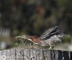 Stretch (raineys) Tags: california bird nature wildlife sanjuanbautista greenheron specanimal