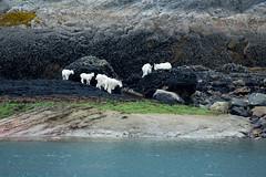 _MG_4344a (markbyzewski) Tags: alaska kids ugly mountaingoats glacierbaynationalpark