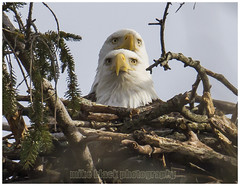 Bald Eagle Nesting Pair NJ Shore (Mike Black photography) Tags: new black bird mike nature canon outdoors big nest eagle pair sandy year birding flight beak feathers bald nj aves science shore jersey monmouth belmar whote neptune birdwatching eagles nesting