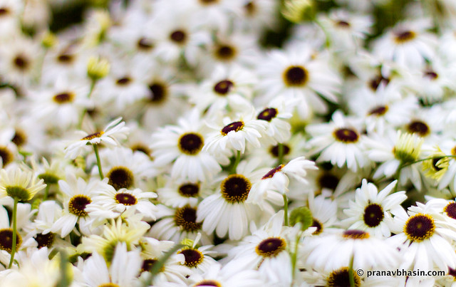 White Flowers Bokeh, At Leisure Valley, Gurgaon