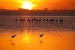 Melincue fauna (Esteban P Sabadotto) Tags: sunset orange lake santafe sol birds fauna atardecer agua wildlife pajaros laguna naranja flamenco melincue