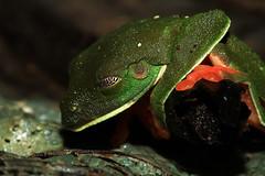 Morelet's Treefrog (Xuberant Noodle) Tags: belize wildlife amphibian frog treefrog morelet agalycnhis