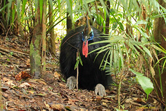 Old Man of the Rainforest (aussiegypsy_tropical FNQld) Tags: old male bird animal forest rainforest colorful nap north australian relaxing australia oldman front southern exotic queensland tropical siesta rest species keystone colourful endangered aussie frontal northern bigfoot timeout far tropics cassowary worldheritage kuranda flightless bigfeet vulnerable plumage casque fnq casuariuscasuarius ratite wettropics doublewattled wattles johnsonii