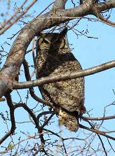 Great Horned Owl_04