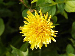 5-1-14 017 (LeeLee's pictures) Tags: 5114 mississippiriver woods nature dandelions yellow flower wildflower weeds makeawish white flyaway