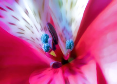 hot for you (Hal Halli) Tags: pink flower macro nature spring azalea twop sensuous pinnaclephotography