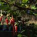 H20150129-3852—Ribes speciosum—RPBG