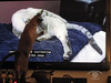 SteeveCatTV20150115_5sm (DawnOne) Tags: blue cats nature cat point tv watching siamese screen things cbc steeve 2015 dawnone indyfoto