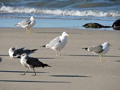 Gaivota prateada (Larus argentatus)-9 (Luis.Mota) Tags: gull gaivota larus argentatus prateada