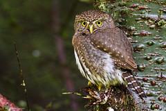 Northern Pygmy Owl (Peter Bangayan) Tags: nature canon wildlife 7d owl wa carnation northernpygmyowl eos7d tamronsp150600mmf563divcusd