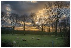 setting sun (stevefge) Tags: trees sunset cloud netherlands sheep sundown farm nederland dijk beuningen nederlandvandaag