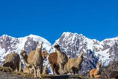 IMG_5311.jpg (altiligerien) Tags: lama paysage animaux lieux mammifère pérou cordillièredevilcanota