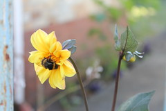 nom (la01) Tags: dahlia flower cute yellow insect insects bee bumblebee honey pollen
