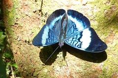 (Kristof Zyskowski and Yulia Bereshpolova) Tags: colombia amazonas panacea nymphalidae amacayacu biblidinae prola