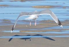 Gaivota prateada (Larus argentatus)-12 (Luis.Mota) Tags: gull gaivota larus argentatus prateada