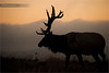 Bull Elk Silhoutte (www.matthansenphotography.com) Tags: morning nature animal mammal twilight glow wildlife bull antlers elk ungulate silhoutte biggame matthansenphotography