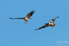 Juvenile Bald Eagles Play in the Sky Sequence - 6 of 10