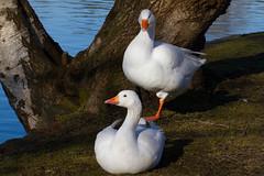 Roath Park 9th Feb 2015 130 (jasondunn2014) Tags: park lake bird water birds canon eos geese pond waterbird goose 7d roath