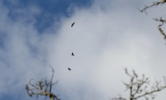 046-20150217-South Glamorgan-between Cefncarnau & Graig Llanishen-3 Buzzards circling above Cefncarnau (Nick Kaye) Tags: birds southwales wales wildlife glamorgan southglamorgan