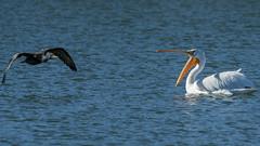 Sunset Park Pond_Henderson (JME_Photos) Tags: park nature birds canon wildlife nevada pelican 400mm