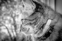 House Cat (FitzJohnson) Tags: blackandwhite bw pet eye monochrome cat canon blackwhite eyes ears monochromatic whiskers canonrebel furbaby odc ourdailychallenge