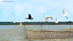 IMG_1308 manifestement, on drange   2/3 (philippedaniele) Tags: cambodge lac siemreap oiseaux tonlesap filets cormorans aigrettes martinspcheurs plaineinondablepche filetsconiques filetspiges