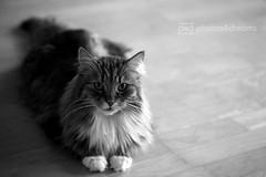 sputnik b/w (photos4dreams) Tags: bw white black male home cat photo photos pics fluffy sw katze sputnik siberian weiss schwarz tomcat longhaired sibirian sibirische weis sibi waldkatze photos4dreams photos4dreamz p4d sundaysbestp4d