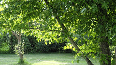 Backlit Leaves (joeldinda) Tags: tree home leaves yard leaf michigan sony lawn may cybershot shadowplay mulliken lightandshadow sonycybershot 2016 pocketcam 3136 sonydsch55 dsch55