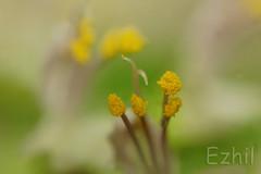 Pollen treat (Ezhil Ramalingam) Tags: basil pollen