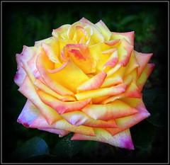 Natural Beauty (dimaruss34) Tags: newyork flower rose brooklyn image dmitriyfomenko