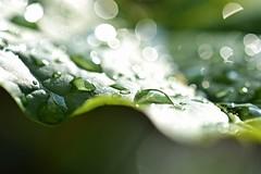 after the rain comes sun (palinta) Tags: white green nature water rain leaf drops shiny bokeh shiniy palinta