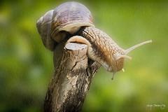 Rainy snail (Diego Pianarosa (aka Pinku)) Tags: macro colors canon insect lumaca soe pinku 70d diegopianarosa