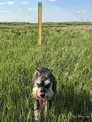 Happy TOT! (Pep's Hiking Team) Tags: traildog wildernessdogs sign nature grass northdakota northcountrytrail nct hike100nct hiking schnauzer dog gopro 2016