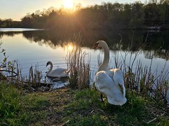 Swan Family ((Jessica)) Tags: baby nature water birds boston spring swan wildlife massachusetts cygnet newengland swans sunburst sunrays cygnets backlighting pw woburn hornpond wildlifewednesday