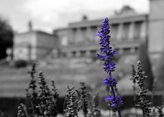 Lavender (Jonathan Price1) Tags: park plant flower colour nature flora blossom outdoor lavender herb selective tatton