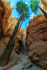 Navajo Loop Trail - Bryce Canyon National Park (mikerhicks) Tags: travel arizona usa southwest nature landscape geotagged outdoors photography utah spring unitedstates desert hiking adventure event backpacking bryce brycecanyon hdr marblecanyon brycecanyonnationalpark onemile navajolooptrail geo:country=unitedstates geo:state=utah camera:make=canon exif:make=canon tokinaatxprosd1116f28ifdx exif:lens=1116mm exif:aperture=56 geo:city=bryce exif:isospeed=400 exif:focallength=11mm canoneos7dmkii camera:model=canoneos7dmarkii exif:model=canoneos7dmarkii geo:lon=11216638833333 geo:location=brycecanyon geo:lat=3762126167 geo:lon=11216632333 geo:lat=37621388333333