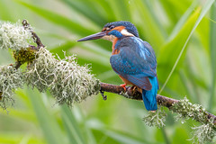 Kingfisher (John Ambler) Tags: wild fish male bird john photographer wildlife photographs kingfisher ambler johnambler