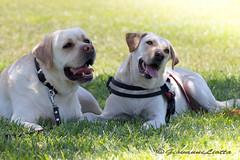 Logan e Zara (Giovanni Liotta) Tags: dog cane labrador logan prato zara catania