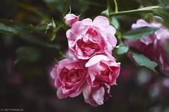 [ 365 | 153 ] (frau_k) Tags: roses 365 153 rhndorf