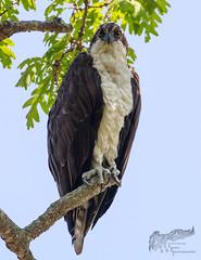 Osprey Portrait 5_25 (krisinct- Thanks for 12 Million views!) Tags: canon 500 f4 80d
