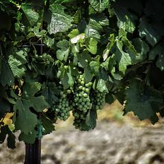 Future Wine (lennycarl08) Tags: california vineyard wine grapes centralvalley