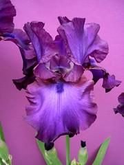 iris (peltier patrick) Tags: flowers iris flower macro fleur fleurs plante garden petals berry violet jardin petal printemps couleur ptale rhizome tige ptales irisviolet tigeflorale fleursviolettes grandiris peltierpatrick