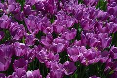 DSC_4156 (Copy) (pandjt) Tags: ca flowers canada bc britishcolumbia tulip abbotsford tulipfestival abbotsfordtulipfestival